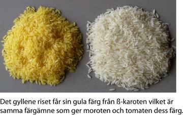 Golden_rice_3